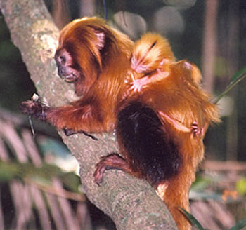 golden lion tamarins webcam photo 2
