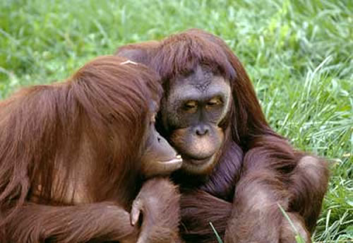 gorillas webcam photo 5