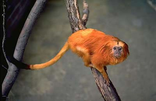 golden lion tamarins webcam photo 1