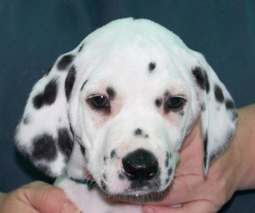Dalmatian babies born cam photo 2