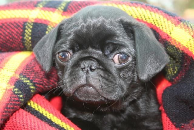 Pug puppies born cam photo 1