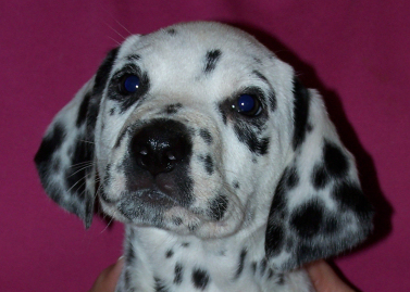 Dalmatian babies born cam photo 6