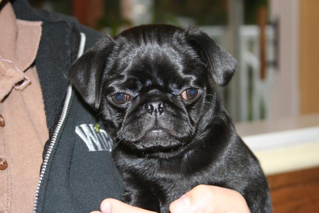 Pug puppies born cam photo 4