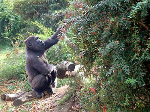 gorillas webcam photo 6