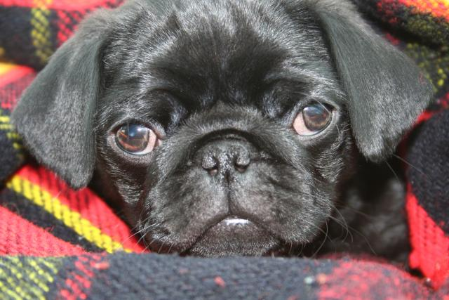 Pug puppies born cam photo 2