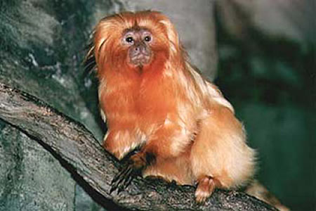 golden lion tamarins webcam photo 3