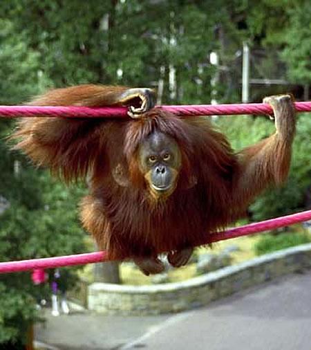 gorillas webcam photo 2