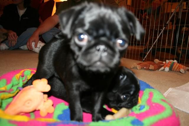 Pug puppies born cam photo 6