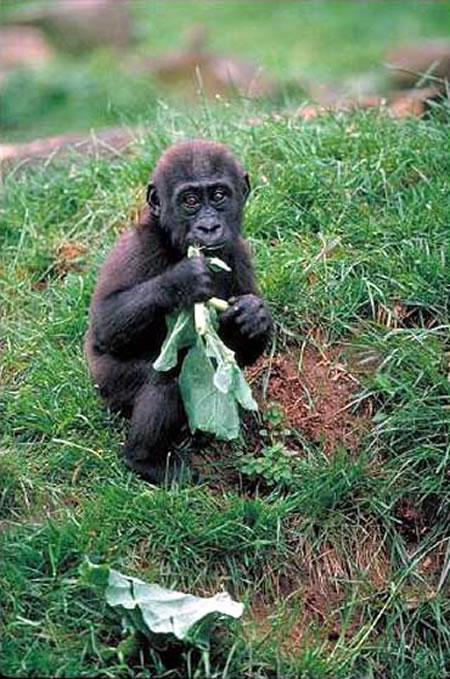 gorillas webcam photo 1