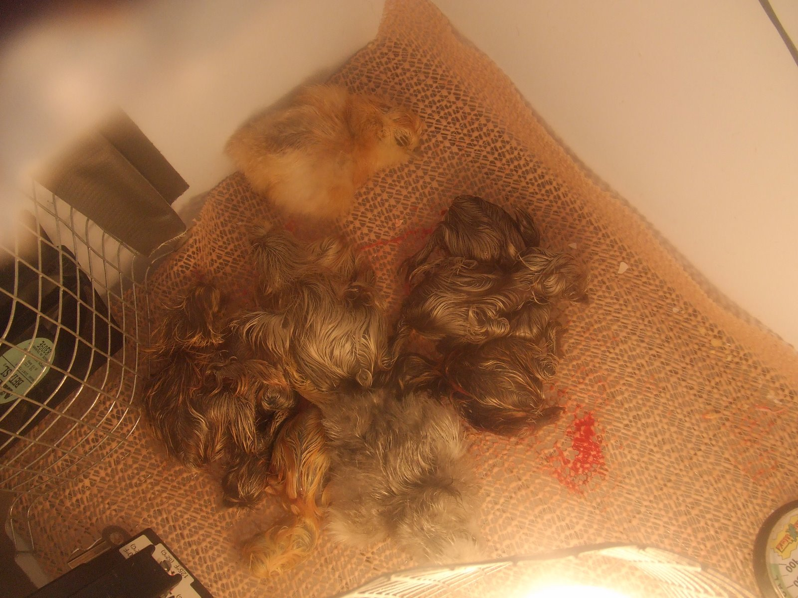 Chicken webcam photo 3