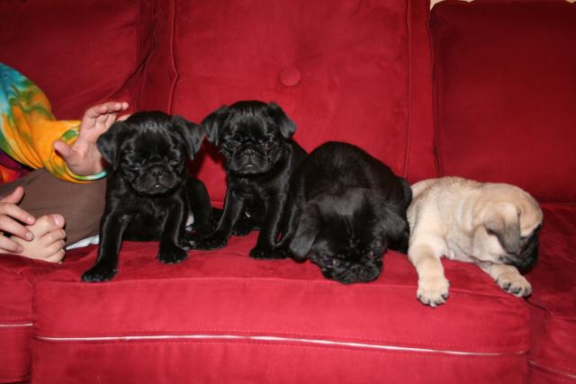 Pug puppies born cam photo 3