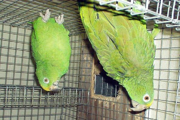 Lolita Parrot photo 2