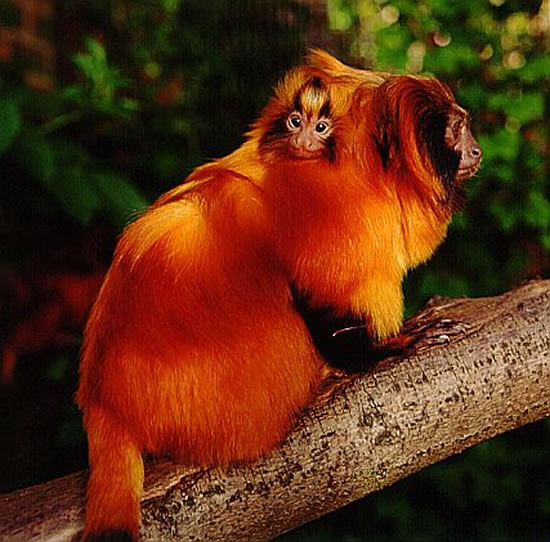 golden lion tamarins webcam photo 4