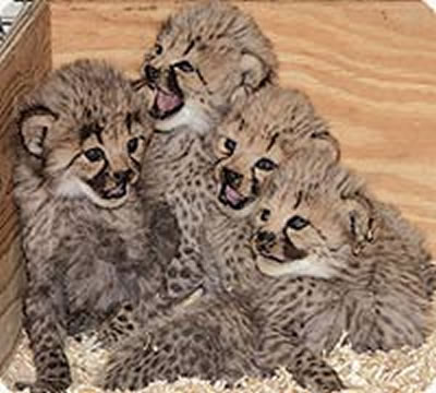 Spotting cheetahs webcam photo 4