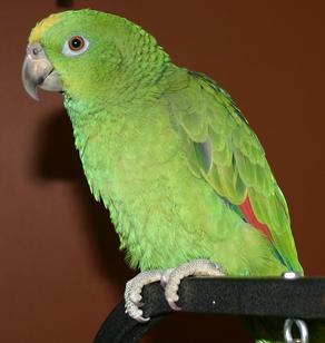 Lolita Parrot photo 1