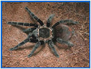 Tarantula cam  photo 1