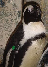 Penguin at Jenkinson's Aquarium photo 1
