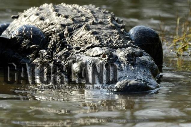 Gator Cam photo 2