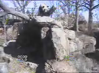 Giant Panda webcam photo 5