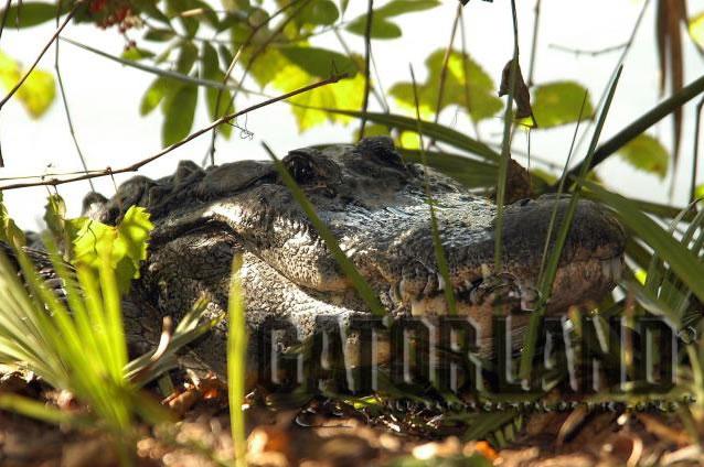 Gator Cam photo 3