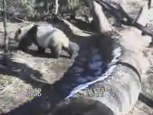 Giant Panda webcam photo 1