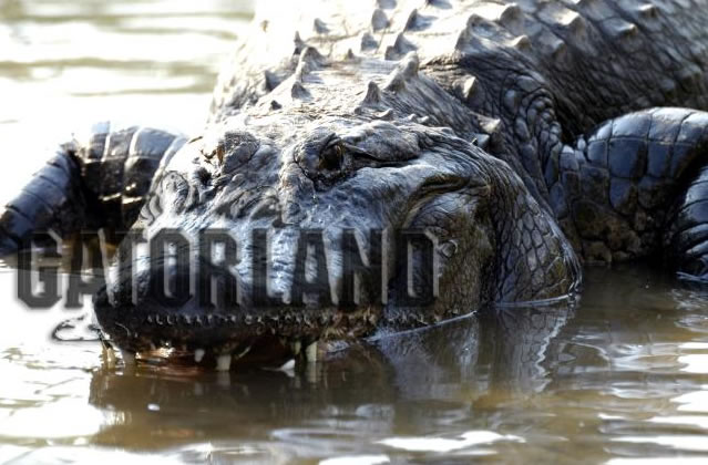 Gator Cam photo 1