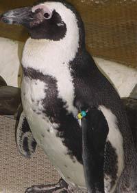 Penguin at Jenkinson's Aquarium photo 3