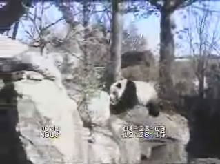 Giant Panda webcam photo 4