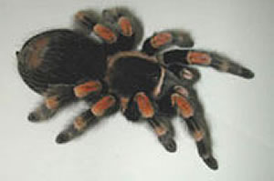 Tarantula cam  photo 3