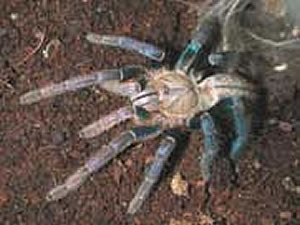 Tarantula cam  photo 2