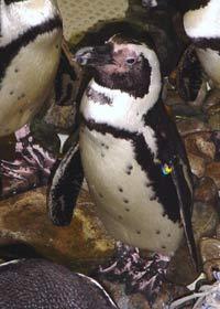 Penguin at Jenkinson's Aquarium photo 2