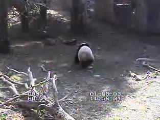 Panda Cam photo 4