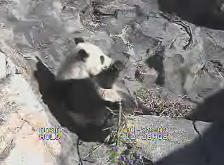 Giant Panda webcam photo 6