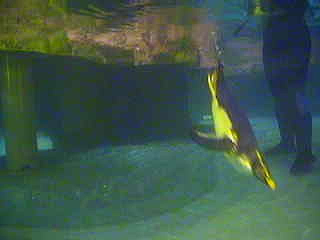 New England Aquarium - Underwater Penguin photo 4