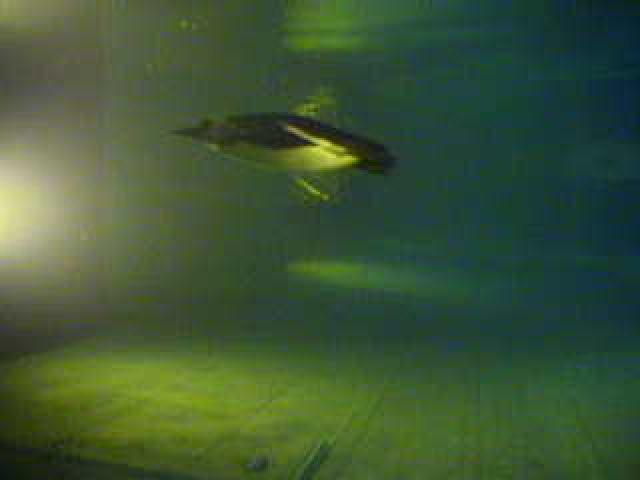 New England Aquarium - Underwater Penguin photo 2