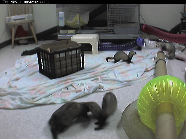 Cascade Ferret Network Web Cam photo 5