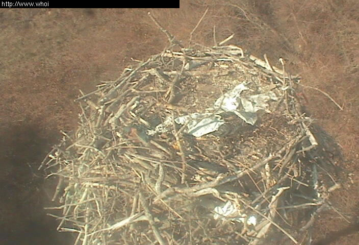 Osprey photo 1