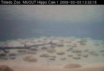 Toledo Zoo - MUOUT Hippo Cam 1 photo 1