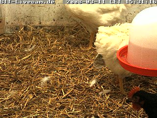 Chicken webcam 2 photo 1