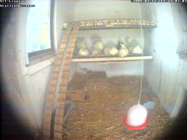 Chicken webcam photo 6