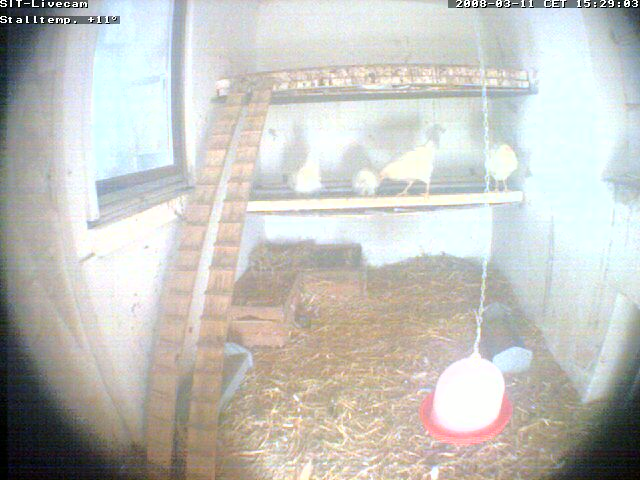 Chicken webcam photo 4