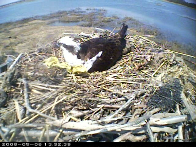 Connecticut Audubon Osprey Camera photo 1