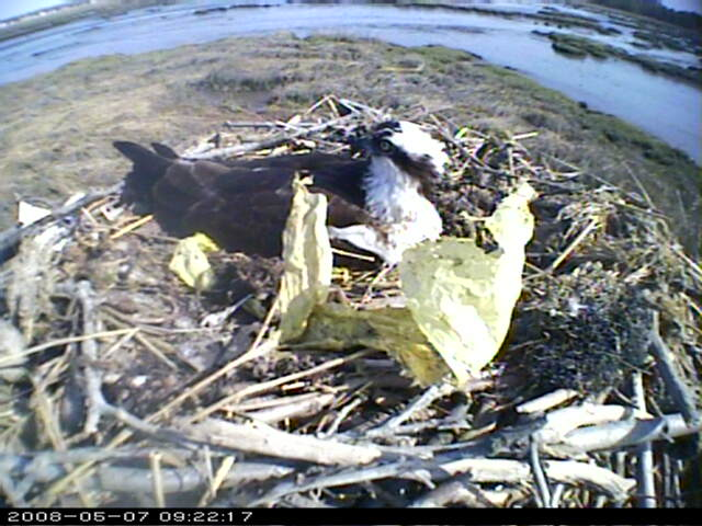 Connecticut Audubon Osprey Camera photo 2