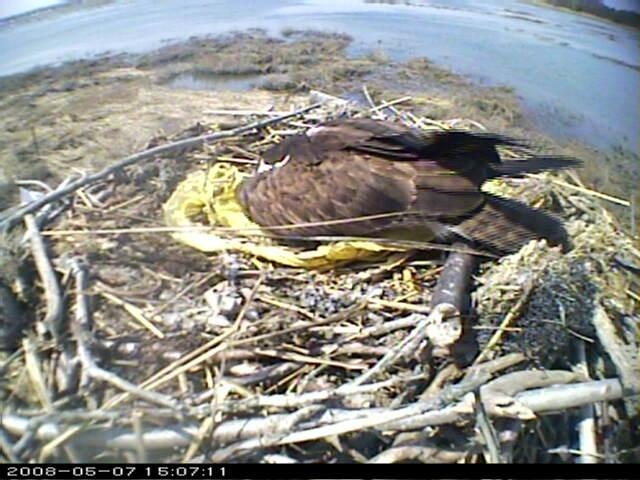 Connecticut Audubon Osprey Camera photo 3