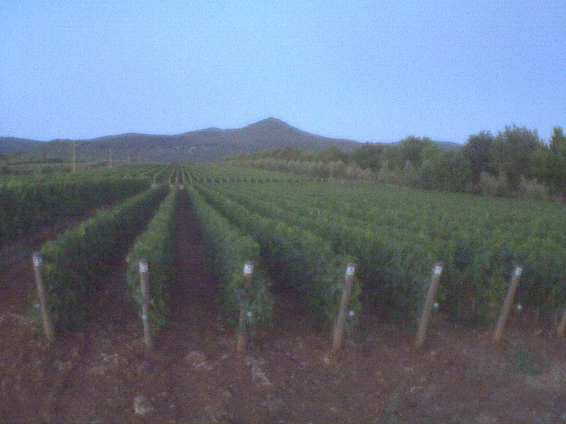 Tenuta dell'Ornellaia vineyard photo 5