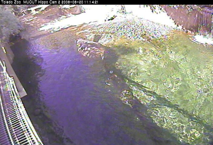 Toledo Zoo - MUOUT Hippo Cam 2 photo 3
