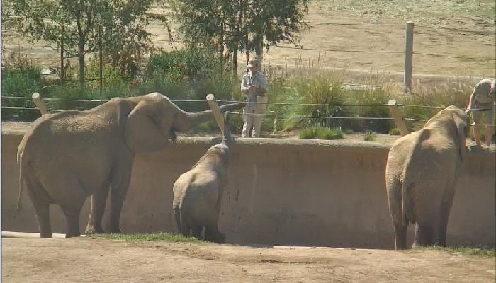 African elephants photo 4