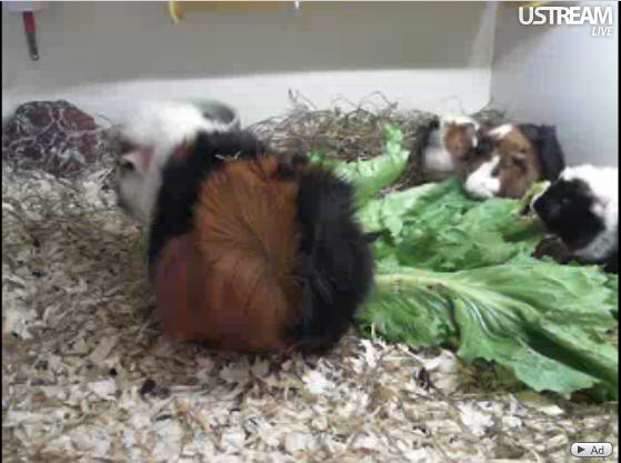Live guinea pig photo 1