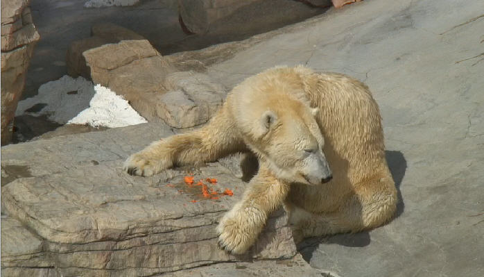 Polar bears  photo 6