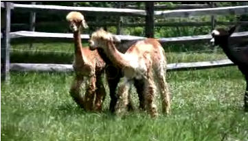 Alpaca Hills Ranch photo 3